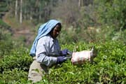 Tea picker. Tea plantations around Munnar town, Kerala. India.